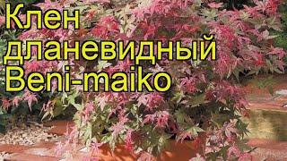 Клен дланевидный Бени-Майко. Краткий обзор, описание характеристик, где купить саженцы