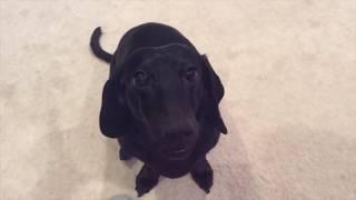 Funny Dachshund Dogs | Very Cute Dog Videos