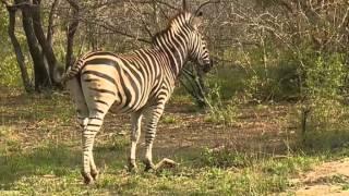 """Zebra -świat zwierząt Afryki  ,,Safari"""""""