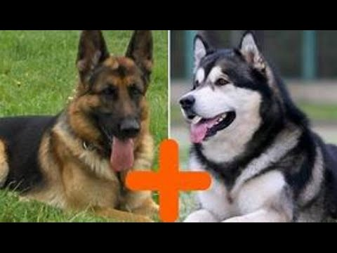 Mixed German Shepherd and Alaskan Malamute breed  | Alaskan Shepherd