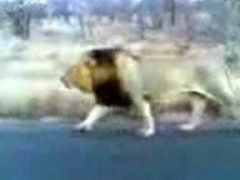 Big Male Lion Roaring Next To The Car - Kruger Sightings