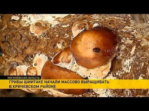 Выращивание шиитаке - Выращивание грибов - Грибоводство