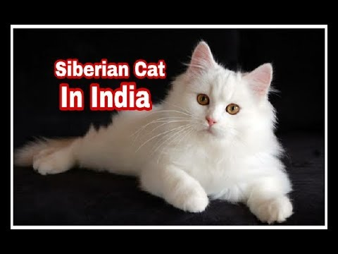 Persian Cat Available in India