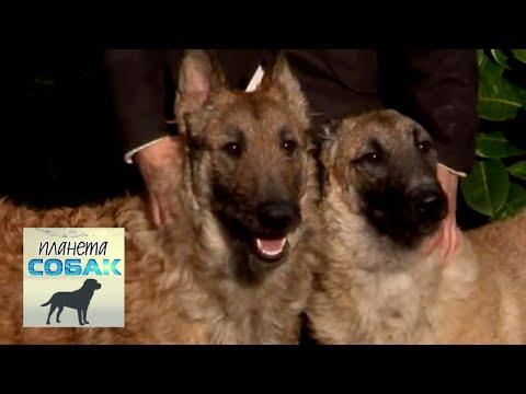 Бельгийская овчарка Лакенуа. Планета собак 🌏 Моя Планета