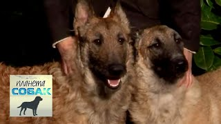 Бельгийская овчарка Лакенуа  Планета собак