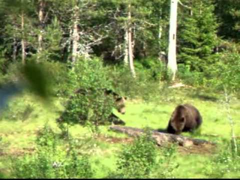 Bear Watching Experience In Kainuu Finland