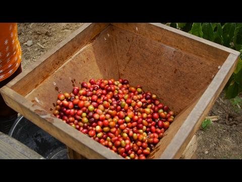 Why is Sumatran coffee so special?