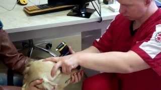 Измерение внутриглазного давления у собаки.