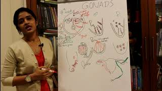 DEVELOPMENT OF THE GONADS-TESTIS AND OVARY-HUMAN EMBRYOLOGY -DR ROSE JOSE MD