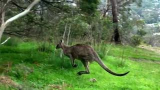 "Interesting facts about kangaroos ""Kangaroos are marsupial animals ..."