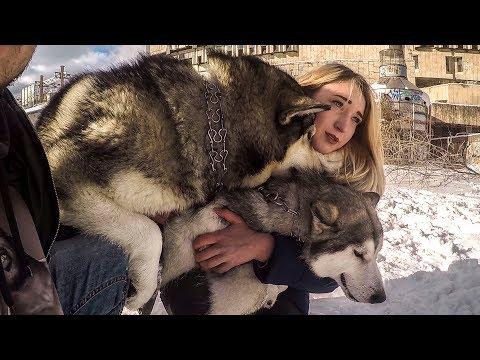 Не для слабонервных! СОБАКИ СЦЕПИЛИСЬ / вязка собак в первый раз