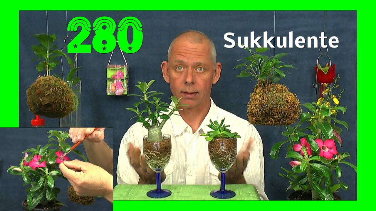 bonsai der w stenrose anzucht im glas der sukkulenten funnydog tv. Black Bedroom Furniture Sets. Home Design Ideas