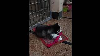 Simba(Siberian Husky) Playing   #shorts