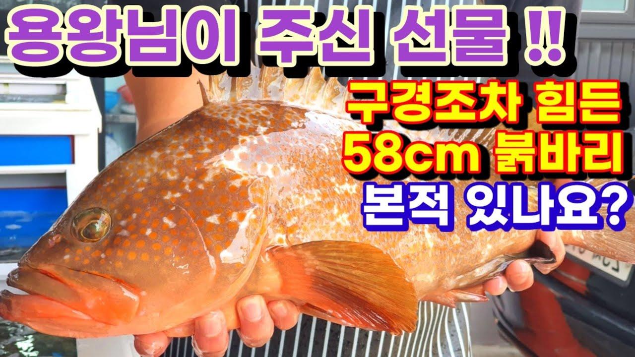 58cm 붉바리 올해 최대어 회뜨기 , red spotted grouper Sashimi