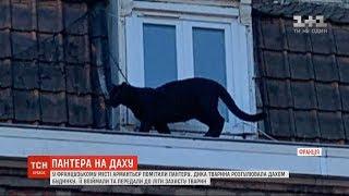 У Франції дика пантера спокійно розгулювала дахом будинку