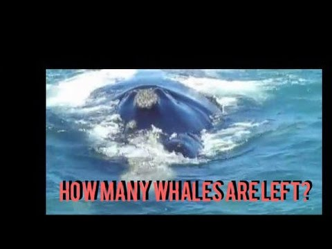Our Whales: How many are left? - Population of our whales