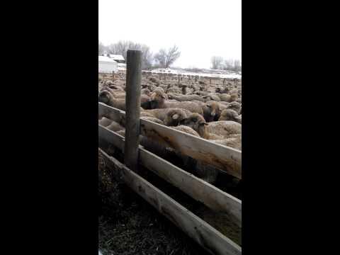 Feeding a big pen of sheep in Wyoming
