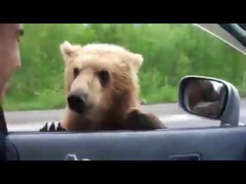 ayı aç kalınca  yol kenarında otostop çekip yemek buluyor