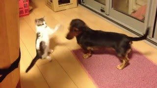 拾ってきた仔猫が先住犬のミニチュアダックスにちょっかいを出してます。
