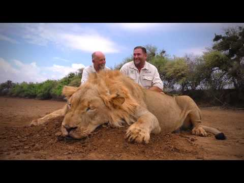 Lion Hunt - Tootabi Hunting Safaris