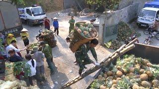 Lào Cai: Dừng mua dứa hỏng của người dân