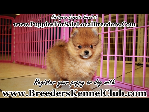 RED POMERANIAN PUPPPIES FOR SALE GEORGIA LOCAL BREEDERS