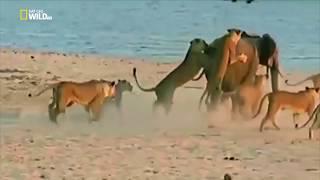 Слоненок против толпы львов