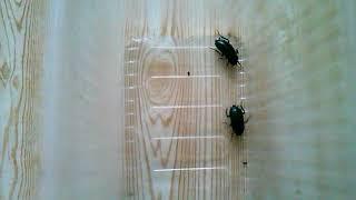 видео Тараканы: таракан черный