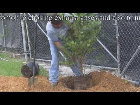 *Plant a Ligustrum Shrub* +Correctly+Ligustrum texanum, & Shrubs+