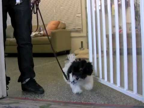 How To Teach Leash Walking - Who's Walking Who?