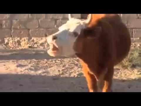 Lachende Kuh