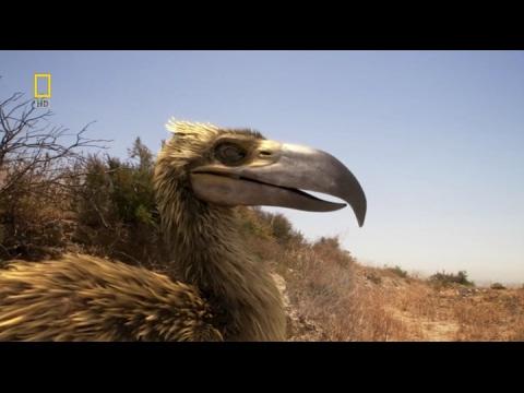 """Super Depredadores Prehistóricos""""Aves del Terror"""" El Kelenken y el Titanis."""