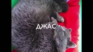 Шокирующее видео, спасение кота породы британец с вывернутой челюстью.