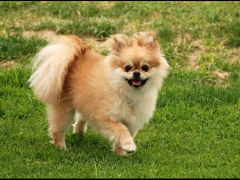 Pomeranian Hair Cut and Grooming - YouTube