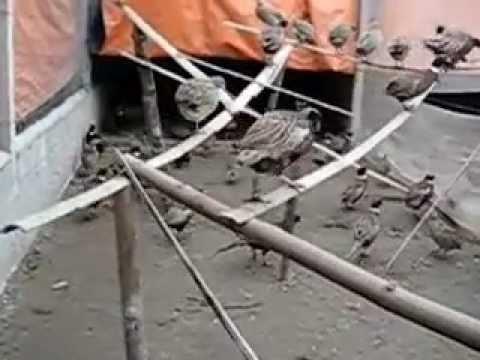 Bán chim trĩ Quảng Nam, Quảng Ngãi, Đà Nẵng giá rẽ, uy tín