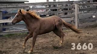Oregon Wild Horse Adoption, June 2017