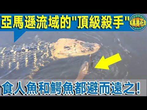 """【恐怖】亞馬遜的驚現""""頂級殺手""""    食人魚和鱷魚見了都怕!"""