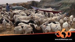 Le360.ma • Mauritanie: Aïd Al Adha, des moutons à prix cassés