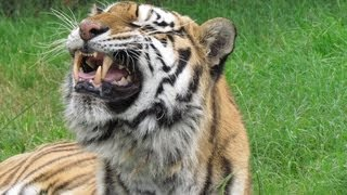 Repeat youtube video FLEHMEN RESPONSE: Gracie the Tiger