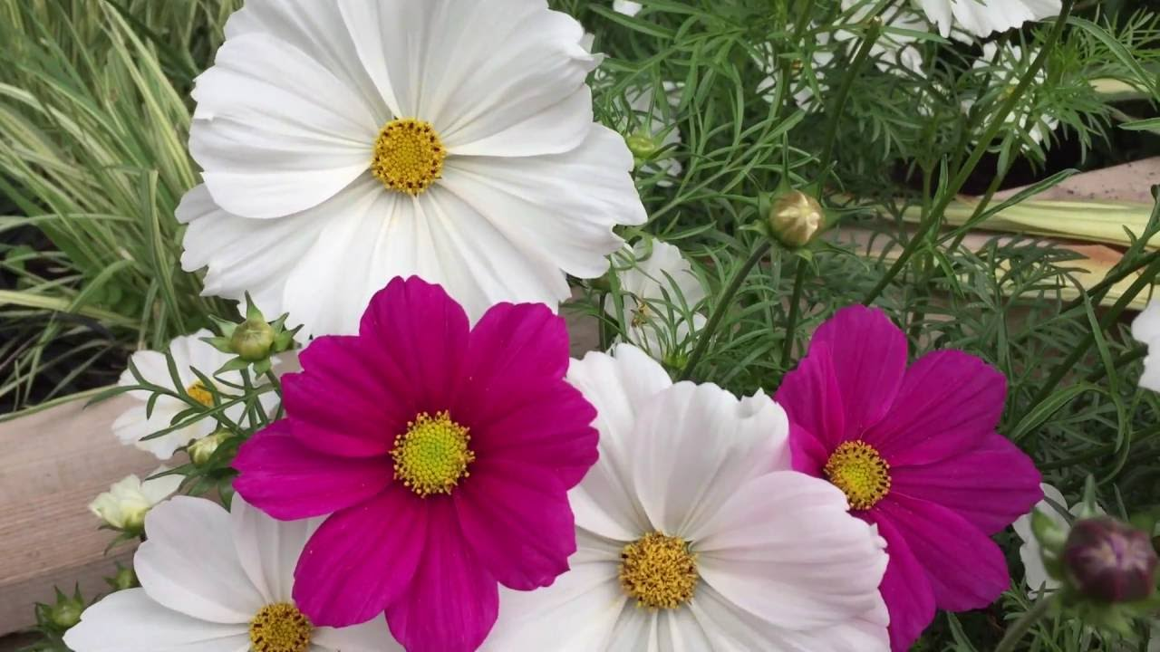 Clusters of pink and white cosmos flowers in garden cosmos flowers clusters of pink and white cosmos flowers in garden cosmos flowers gardening mightylinksfo