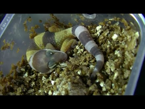 Leopard Gecko Baby Hatching: First Born of the Year - YouTubeLeopard Gecko Hatching