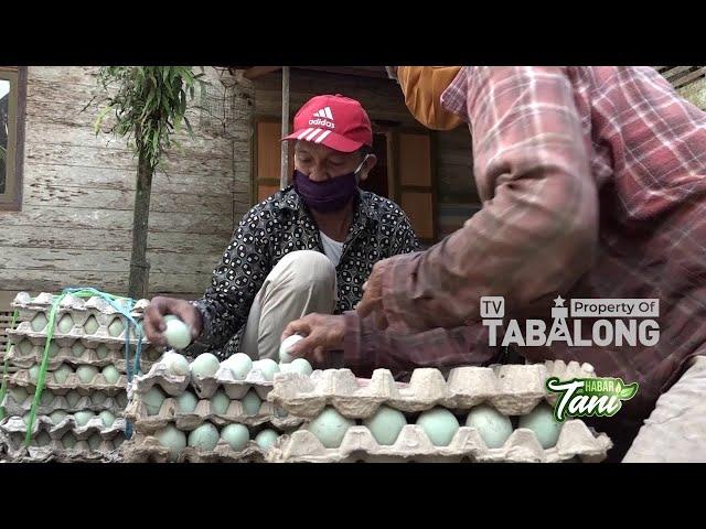 Budidaya Bebek Petelur Desa Hariang   Habar Tani