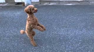 彼の名前はチャートです。ある特訓のおかげで、彼は二足歩行することが...
