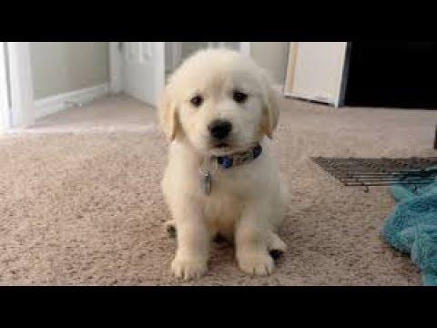 【かわいい】かわいいゴールデンレトリバー子犬🐶いろいろ映像集♡【ゴールデンレトリバー】