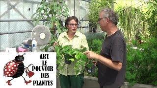 Conseils jardinage : pothos ou scindapsus: Entretien et l'arrosage: plante verte d'intérieur