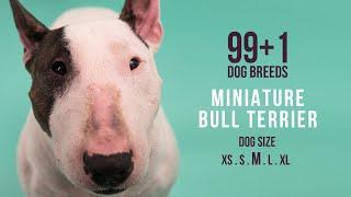 Miniature Bull Terrier / 99+1 Dog Breeds
