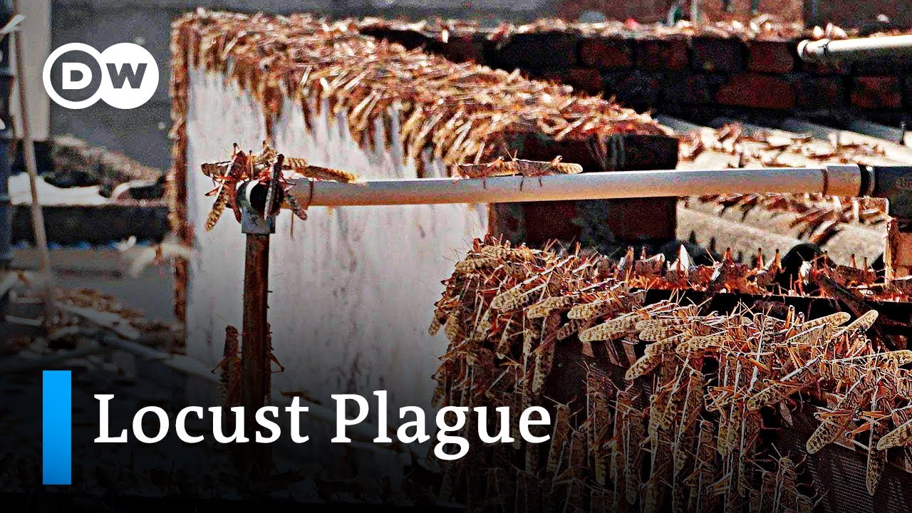 India and Pakistan face worst locust plague in 30 years | DW News