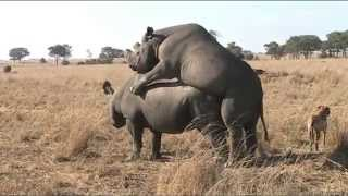 Rhino mating at Imire, Zimbabwe