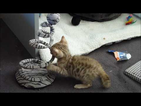 How to make your Bengal kitten happy.Power training exercises for Bengal kittens .Series
