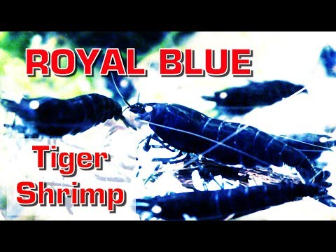 ROYAL BLUE TIGER SHRIMPS in 4K Ultra HD - ORANGE Eyes!